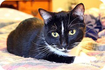 Domestic Shorthair Cat for adoption in Dallas, Texas - Figaro