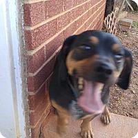 Adopt A Pet :: Little Man - Charlotte, NC