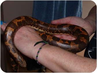 Snake for adoption in Richmond, British Columbia - Zarra
