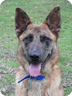 German Shepherd Dog/Dutch Shepherd Mix Dog for adoption in Nashville, Tennessee - Gunter