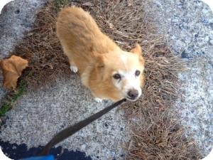 shiba inu mixed with pomeranian rusty adopted dog 25522878 orland park il 6897