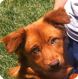 Nova Scotia Duck-Tolling Retriever Mix Dog for adoption in Cheshire, Connecticut - Nova