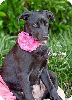 Labrador Retriever Mix Puppy for adoption in Charlemont, Massachusetts - Jenny