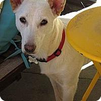 Adopt A Pet :: CLOVER - Encino, CA