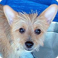 Adopt A Pet :: Rusty - Tumwater, WA
