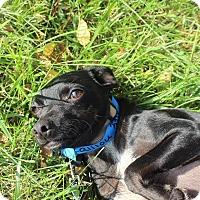 Adopt A Pet :: Callou ADOPTION PENDING - Waldorf, MD