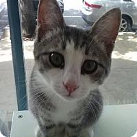 Domestic Shorthair Cat for adoption in Philadelphia, Pennsylvania - Motor