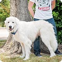 Adopt A Pet :: Dirk - Garland, TX