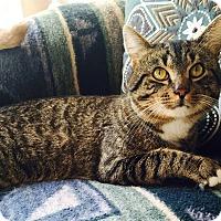 Adopt A Pet :: Meeko - Addison, IL