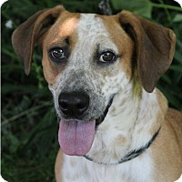 Adopt A Pet :: COPPER:Low Fees/Neutered - Red Bluff, CA