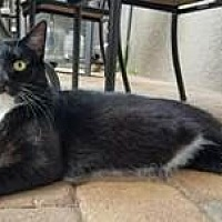 Domestic Shorthair Cat for adoption in Orlando, Florida - Oliver