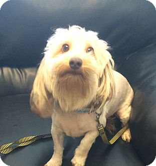 Dachshund/Bichon Frise Mix Dog for adoption in Oak Ridge, New Jersey - Biggie