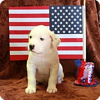 Adopt A Pet :: Abe - Salem, NH