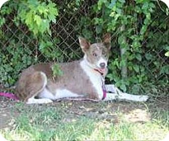Australian Cattle Dog Mix Dog for adoption in Madison, New Jersey - Janie