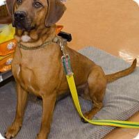 Adopt A Pet :: Amber - Midlothian, VA