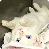 Domestic Shorthair Kitten for adoption in Glen cove, New York - Harmony