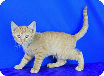 Domestic Shorthair Kitten for adoption in Carencro, Louisiana - Oswald