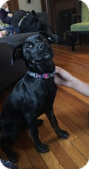 Labrador Retriever Mix Puppy for adoption in Bridgewater, New Jersey - Midge