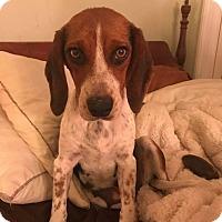 Adopt A Pet :: Gretchen - ST LOUIS, MO