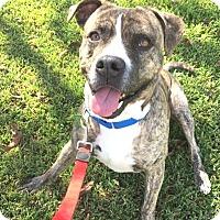 Boxer/Pit Bull Terrier Mix Dog for adoption in Seattle, Washington - Carter