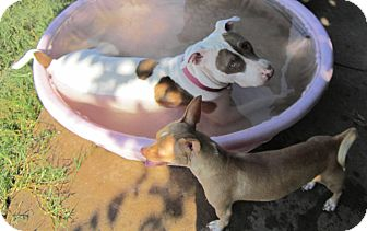 American Pit Bull Terrier Mix Dog for adoption in Copperas Cove, Texas - Nala