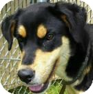 Black and Tan Coonhound/Australian Terrier Mix Dog for adoption in Lincolnton, North Carolina - Irene