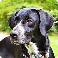 Adopt A Pet :: *Greer - PENDING - Westport, CT