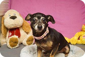 Chihuahua Mix Dog for adoption in Martinez, Georgia - Coo Coo