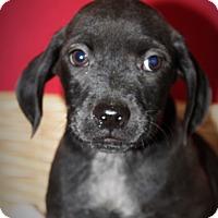 Adopt A Pet :: Broccoli - Waldorf, MD