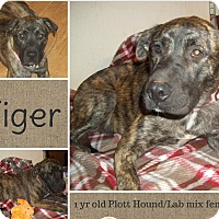 Adopt A Pet :: Tiger- pending adoption - East Hartford, CT