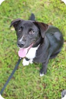 Border Collie Mix Dog for adoption in Fayetteville, Georgia - Callie