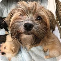 Adopt A Pet :: Ginger - Long Beach, NY