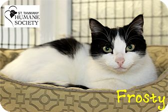 Domestic Shorthair Cat for adoption in Covington, Louisiana - Frosty