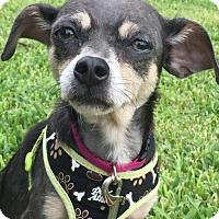 Adopt A Pet :: Daisy Mae Dukes - Fort Lauderdale, FL