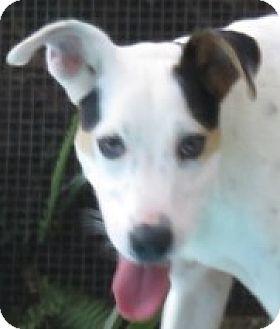 Italian Greyhound/Dalmatian Mix Dog for adoption in St Petersburg, Florida - Tamra! Congeniality +