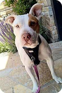 Pit Bull Terrier Mix Dog for adoption in Los Angeles, California - Rosie