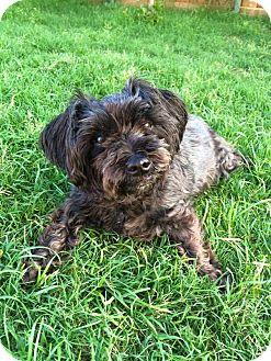 Maltese/Schnauzer (Miniature) Mix Dog for adoption in MCKINNEY, Texas - Sophie