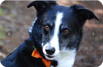 Border Collie Dog for adoption in McKenna, Washington - Mookie