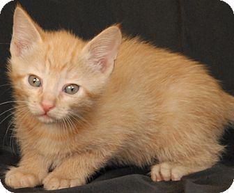 Domestic Shorthair Kitten for adoption in Newland, North Carolina - Wonton