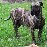 Mastiff/Hound (Unknown Type) Mix Dog for adoption in Missouri City, Texas - Penelope