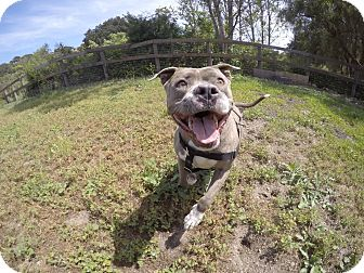 American Staffordshire Terrier/American Pit Bull Terrier Mix Dog for adoption in Los Olivos, California - Lucy