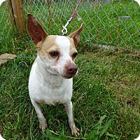 Chihuahua Mix Dog for adoption in Delaware, Ohio - Enrique
