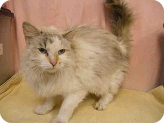 Birman Cat for adoption in Upper Marlboro, Maryland - *AURORA