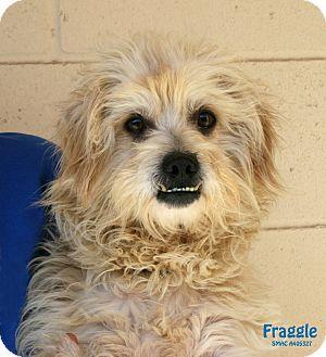 Poodle (Miniature) Mix Dog for adoption in Santa Maria, California - Fraggle Rock