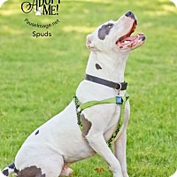 Staffordshire Bull Terrier Mix Dog for adoption in Chandler, Arizona - SPUDS