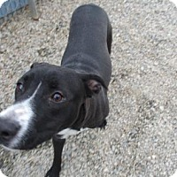 Papillon Mix Dog for adoption in Greensboro, North Carolina - Omni