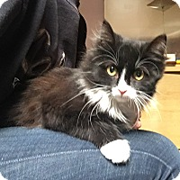 Domestic Longhair Kitten for adoption in Whitehall, Pennsylvania - Lorena
