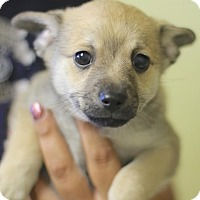 Shepherd (Unknown Type) Mix Puppy for adoption in Lakewood, Colorado - Rorie