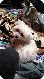 Maltese Dog for adoption in Benton, Pennsylvania - Molly