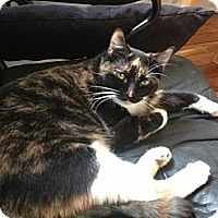 Domestic Shorthair Cat for adoption in Harrison, New York - Phoebe